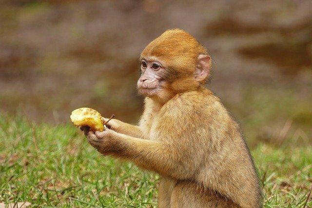 zrzavá opička