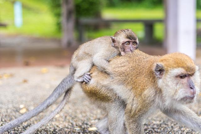 makak opice
