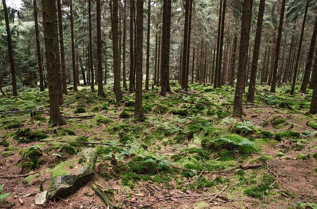 kapradí v lese